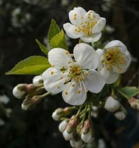 Frühling - Kirschblüten - © Saskia (SvZ)