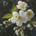 Bild: Kirchblüten der Frühling bricht durch