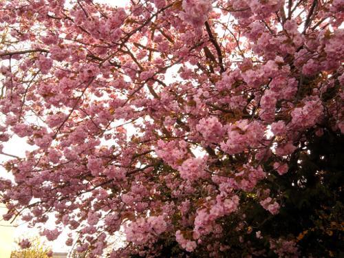 Blütenpracht eines mir unbekannten Baumes in Frankfurt am Main - Westhausen