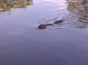 Nutrias an der Nidda - Hungriges Nutria schwimmt heran.