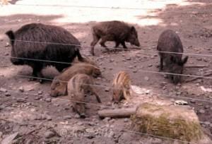 Rotte im Wildpark Alte Fasanerie