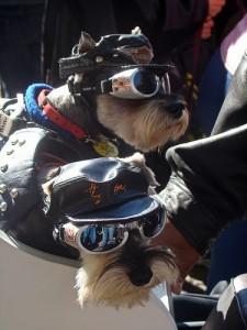Am liebsten mitfahren auf dem Motorad: Biker-Dogs von istolethetv