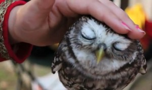 Video-Standbild aus lovely owl - Das ist die schmusende Eule