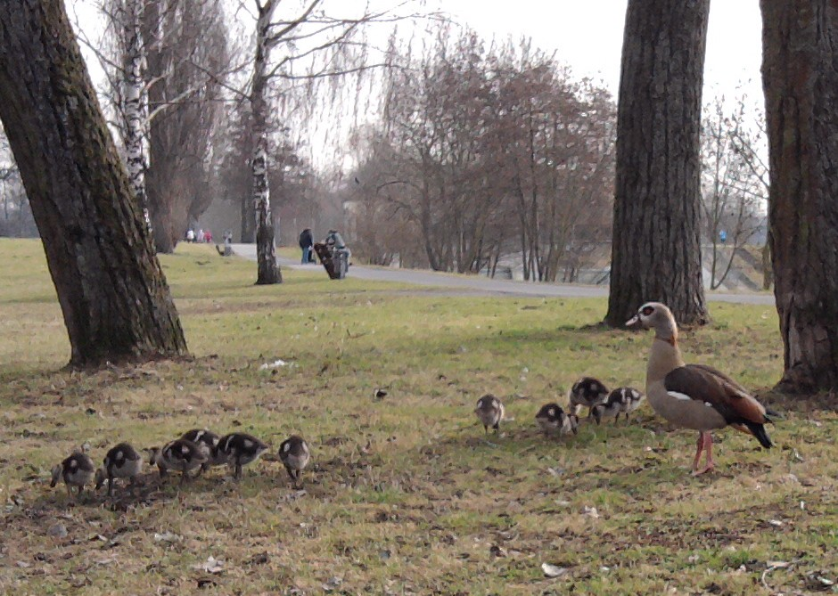 Nilgänse in Praunheim - 10 Küken schon Anfang März