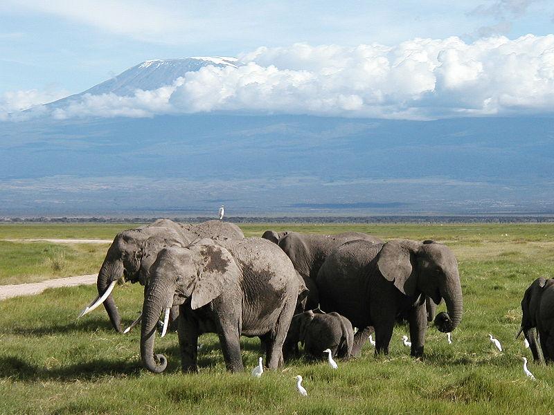 Afrikanische Elefanten im Amboseli National Park (Draufklicken vergrößert) - Bild von: Disdero