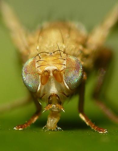 Fliege mit bemerkenswert bunten Facettenaugen - Auf das Bild klicken führt zum Fliegen Subset von Brian Valentineauf Flickr