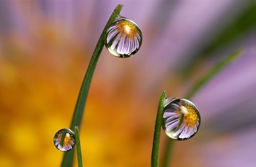 Bild: Macro-Fotos von Brian Valentine Gänseblümchen als Spiegelung in Wassertropfen an Grashalmen