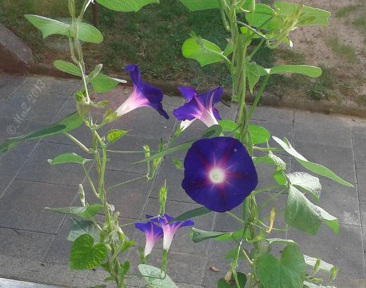 Bild: Positiv gedacht - gefreut habe ich mich über die Blüten unserer Morning Glory