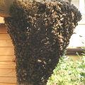 Bild: Bienenschwarm im Garten