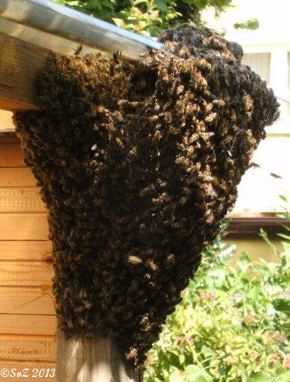 Bild: Eine Schwarmtraube am Bikeport. Ein Bienenschwarm macht Pause.